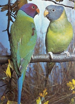 odgajivacnica papagaja Jakovljevic - Sljivoglavi papagaj (Psittacula