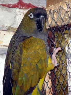 Patagonac (Cyanoliseus patagonus) Papagaj_patagonac_01