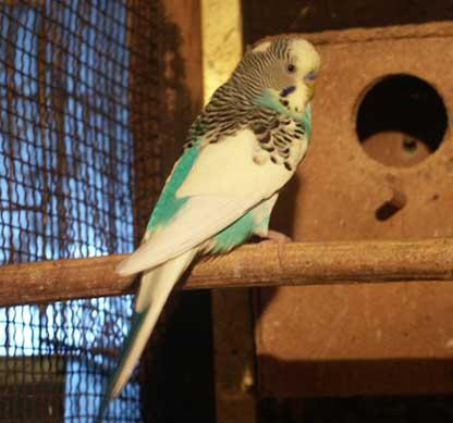 Razne ptice Papagaj%20tigrica%2001