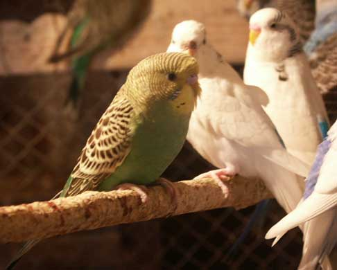 Razne ptice Papagaj%20tigrica%2003