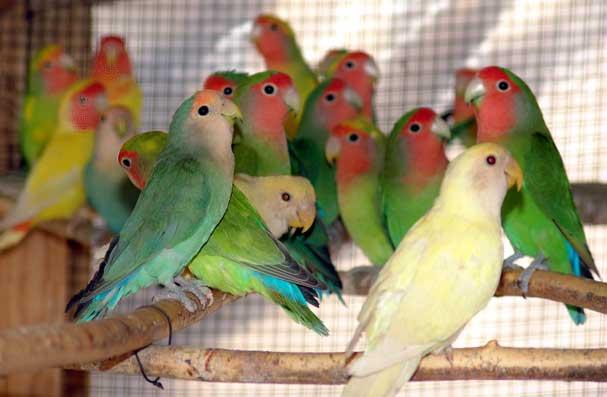 Fotografije raznih ptica Papagaji%20rozenkolinsi%20-11