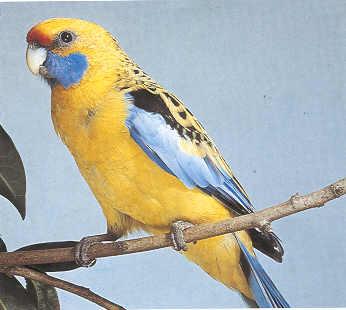 Štroh - slameno žuti penant (Platycercus flaveolus) Papagaj%20stroh%20-02